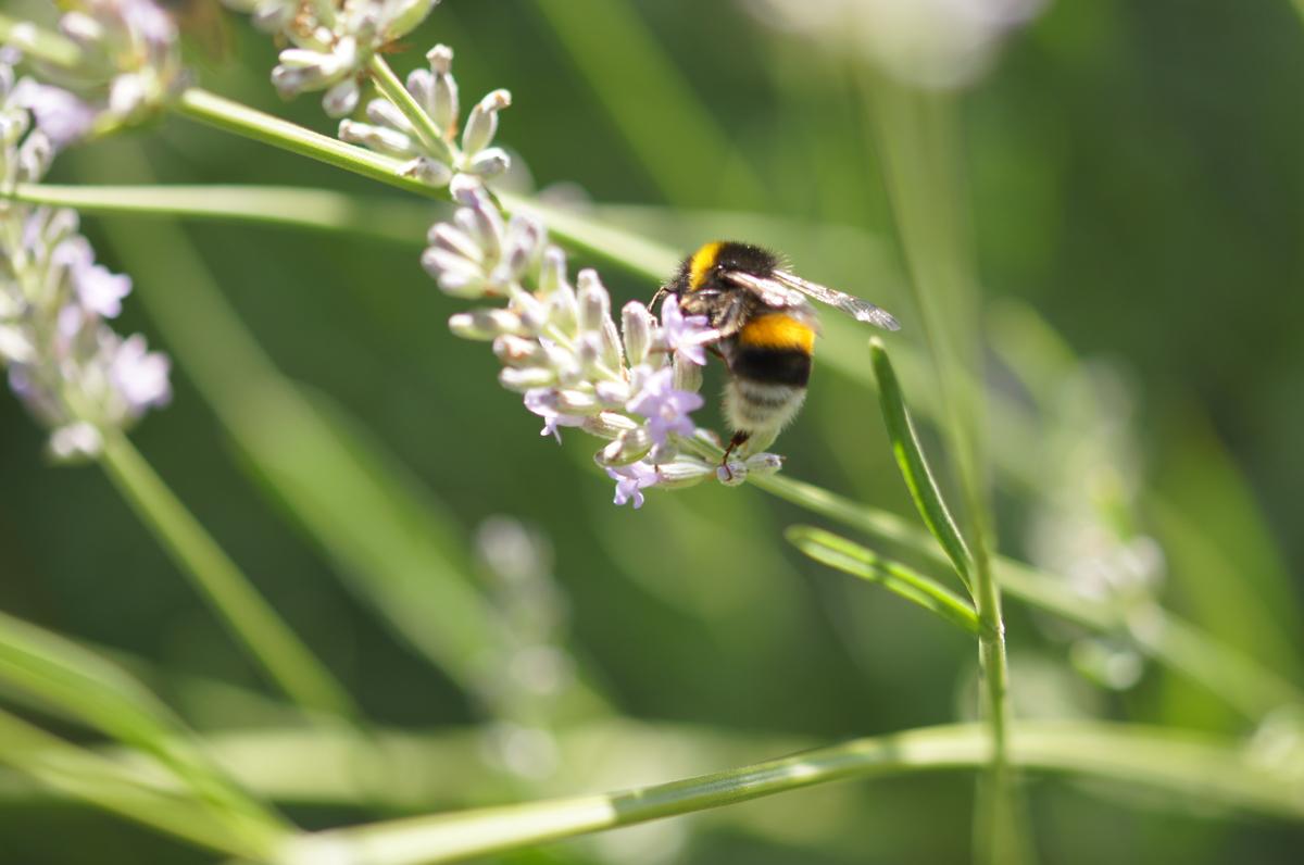 Hummel auf Lavendel